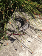 Blue Tongue lizard stopped for a chat near the Drummoyne Rowers club.