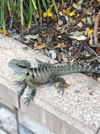 New friend found on the walk to Manly.