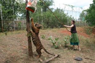 Tiger Play 04
