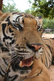 Tiger Time 05