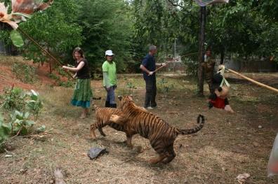 Tiger Play 01