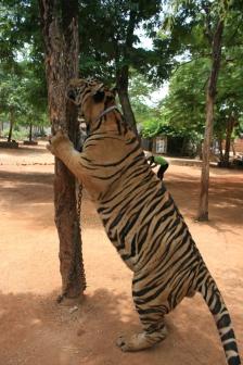 Tiger Time 03